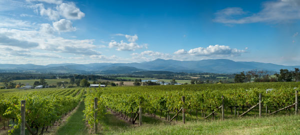 View overlooking Yarra Valley with winery vineyard in the foreground